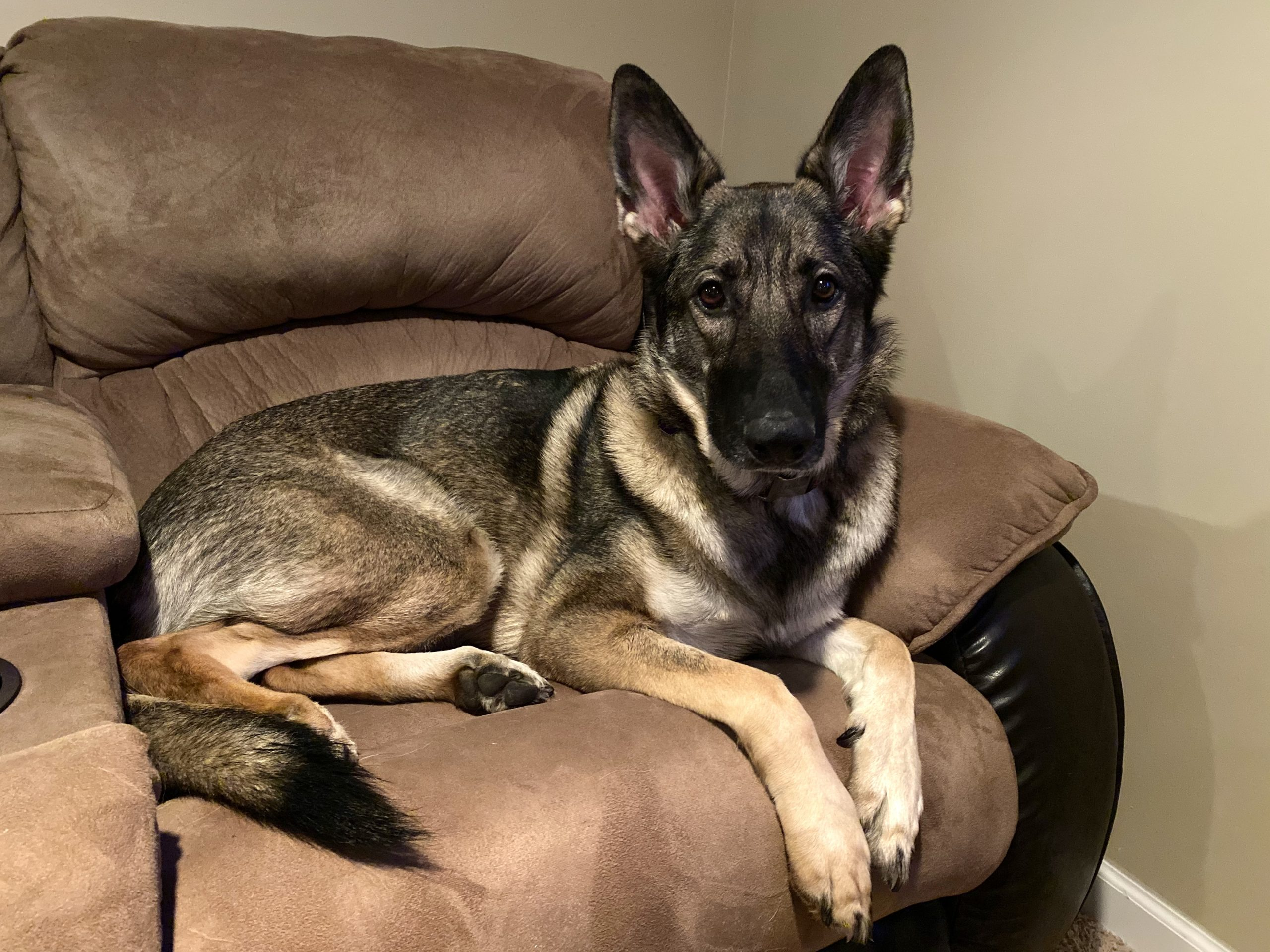German Shepherd care and info