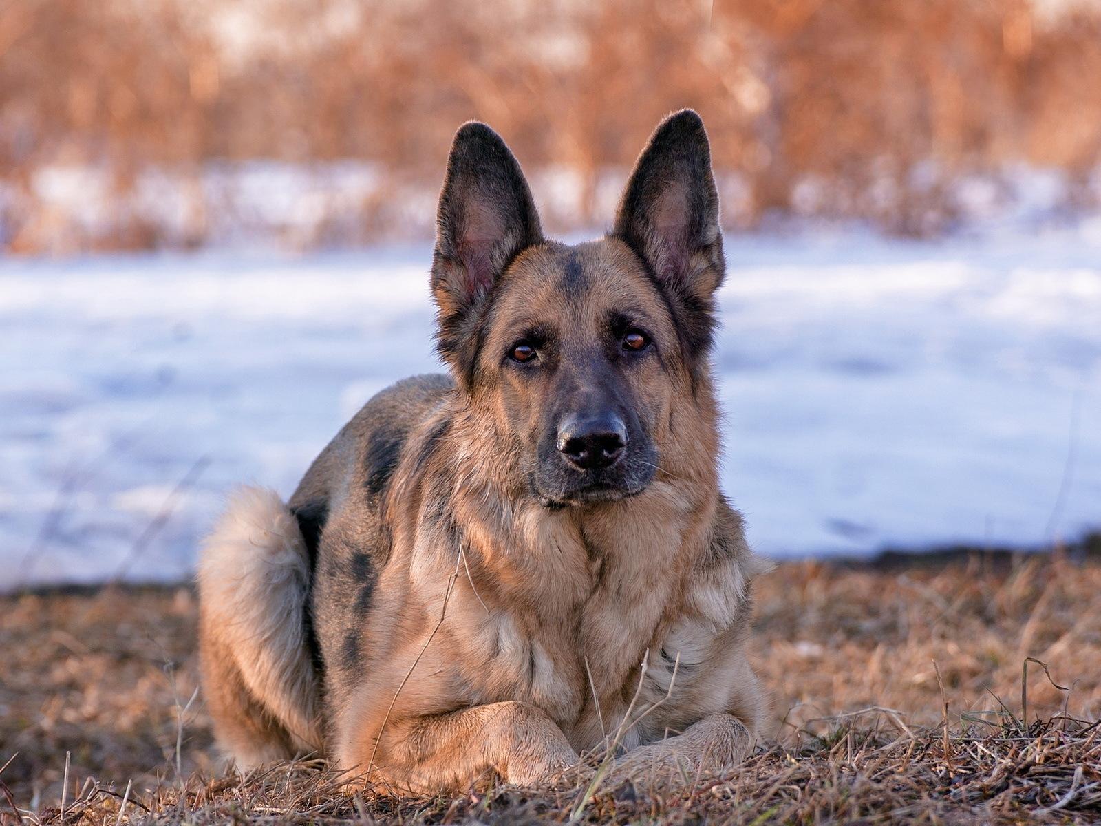 history of German Shepherd dogs
